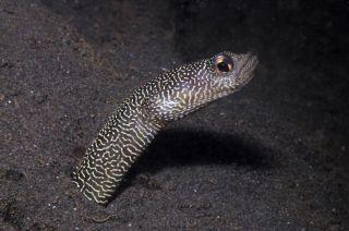 Heteroconger new garden eel, one of nine new species identified through Conservation International's Bali Rapid Assessment Program.