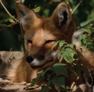 Viral Video: What The Fox Actually Sounds Like | Live Science