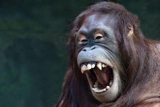 An orangutan laughing.