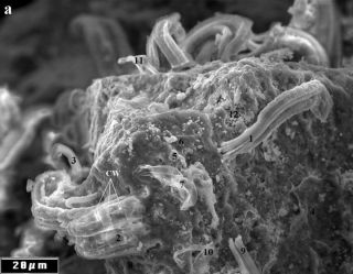 Filaments in the Orgueil meteorite, seen under a scanning electron microscope, could be evidence of extraterrestrial bacteria, claims NASA scientist Richard Hoover.