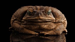 A Cane Toad Against A Black Backdrop