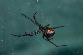 A female Black Widow (Latrodectus hesperus) spider on her sticky web in a dark corner of an Arizona garden.