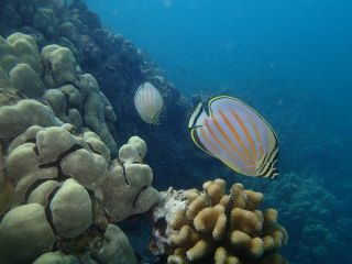 A great butterfly fish, global warming