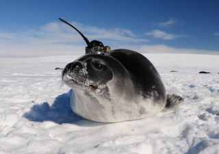 Scientists equipped seals with temporary satellite tags and sent them swimming under the sea ice in Antarctica to collect data on water conditions.