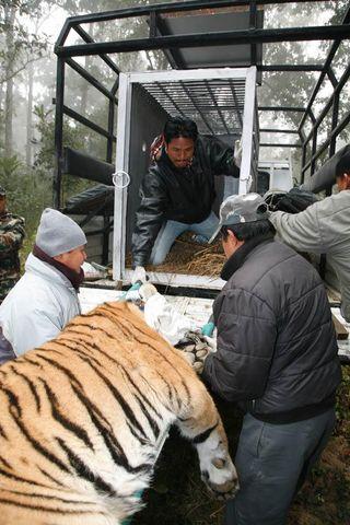 tiger-move-nepal-110124-02