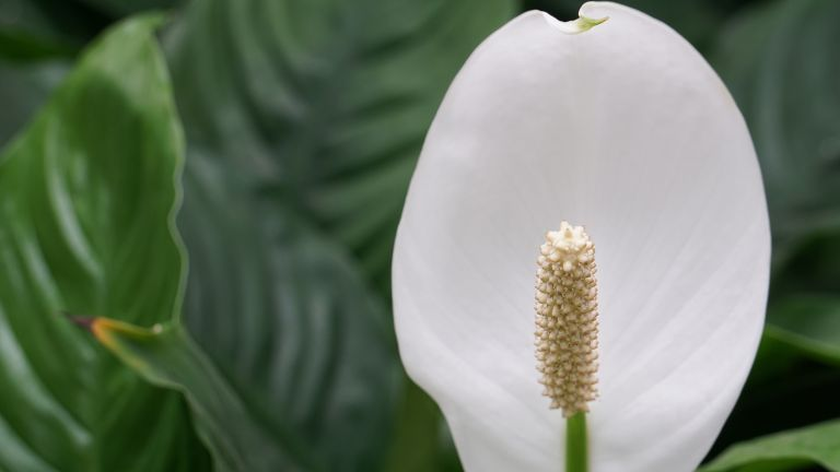 close up of a peace lily