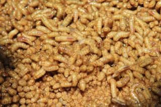 background of maggots