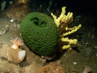 Green sea sponge, evolutionary theory of cancer