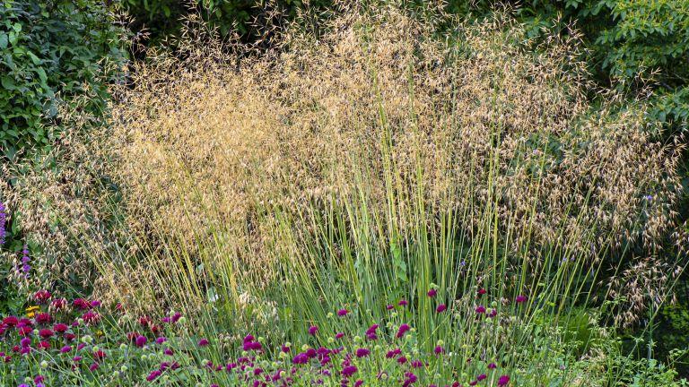 Stipa gigantea in a garden border