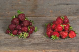 The new breed of Purple Wonder strawberry is shown on the left, next to a conventional variety called the Jewel.