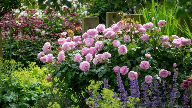 flowerbed packed with pink roses