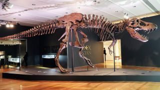 "The Tyrannosaurus rex dinosaur fossil skeleton nicknamed ""Stan"" is displayed in a gallery at Christie's auction house in New York City on Sept. 17, 2020."