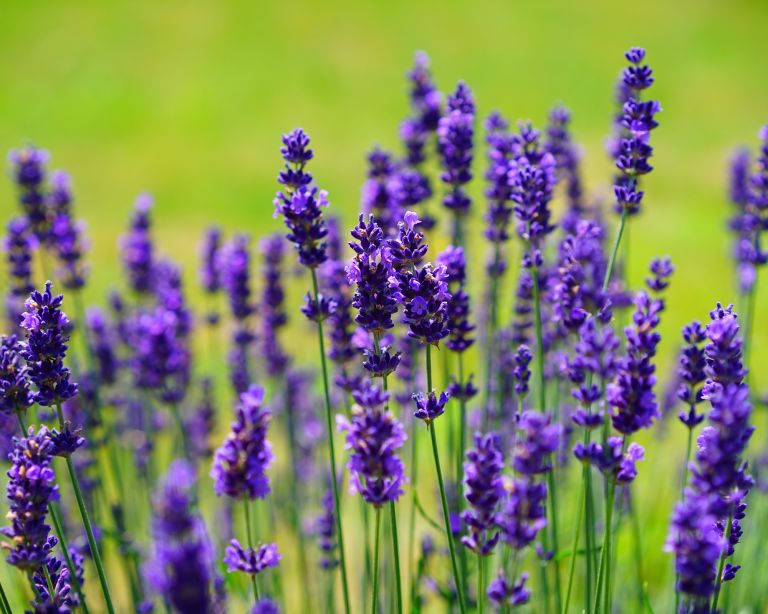 Prettiest evergreen plants – lavender