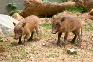 warthog-piglets-2-110421-02
