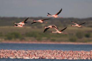 Lesser flamingo, birdwatchers