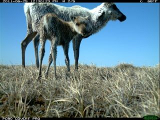 Caribou mom and calf, camera trap