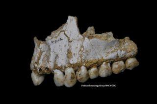 Neanderthal jaw