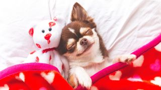 Cute chihuahua puppy sleeping with teddy bear on a white bed covered in red blanket with hearts