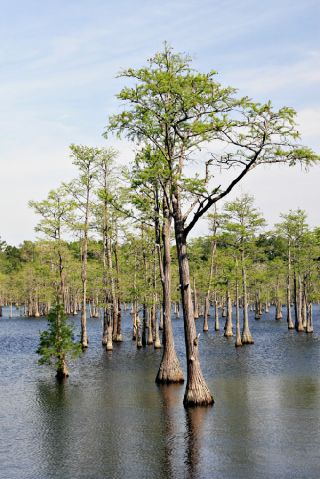 Cypress trees, like these, are conifers found on all continents except Antarctica.
