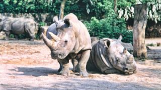 White rhinos owe their name to the Afrikaan word 'weit', meaning wide, which refers to the animal's wide mouth.