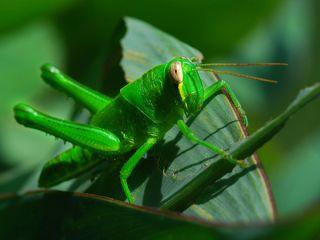 grasshopper-100526-02