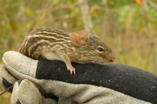 Gabon rodent, Central African Republic