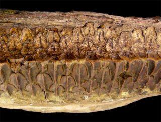 hadrosaurid dinosaur teeth