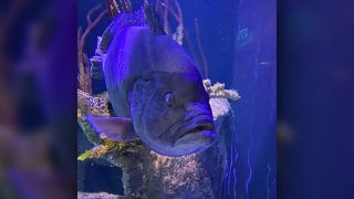 A birthday celebration helped sad grouper Mikko turn that frown upside down.