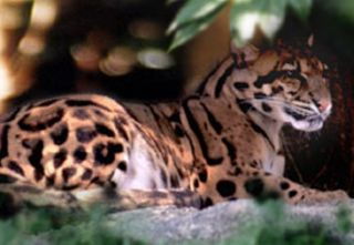 A Formosan cloud leopard, now extinct in Taiwan.