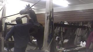 HSUS released undercover video footage revealing cruel treatment of horses in the Tennessee walking horse industry