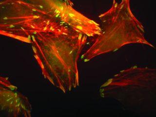 Human Immune Cell in ISS Kubik Centrifuge