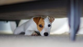 Why do dogs hide under the bed? Jack Russell hiding under bed