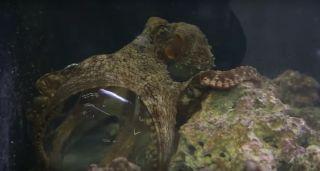 octopus using hamster ball