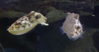 Cuttlefish mating strategy.
