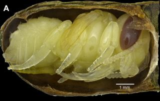 This is a modern leafcutter bee pupa in a nest cell