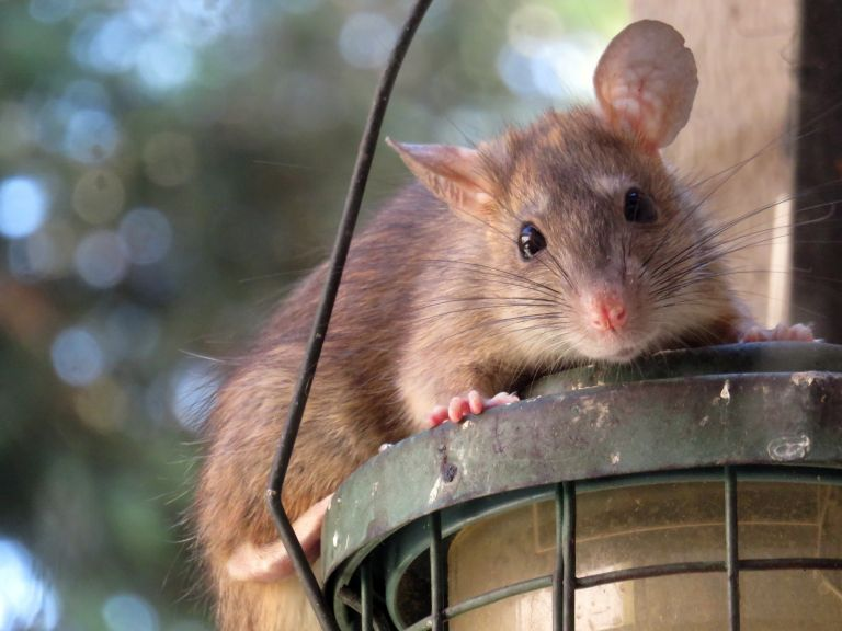 rat in garden on top of bird feeder