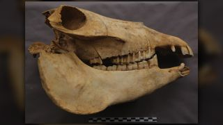 A skull of one of Cui Shu's beloved donkeys.