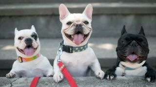 Image of three Frenchies: French Bulldog breeder attempting to reengineer their faces to reduce health problems