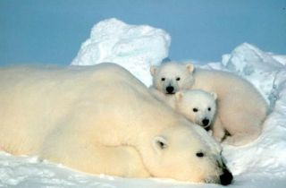 A polar bear mother and cubs in the Arctic. Credit: USFWS