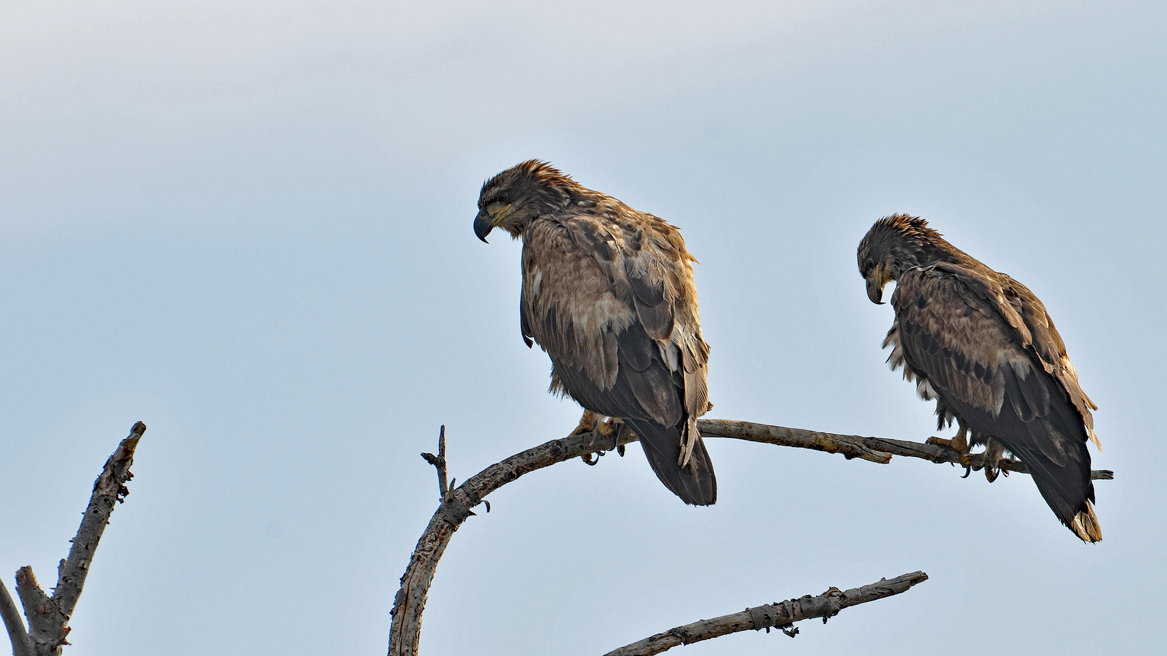 Two juvenile eagles watched the bizarre duo.