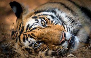 Dynasties - Tigers