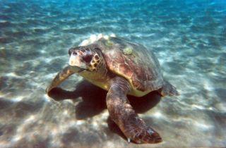 loggerhead-turtle-110630