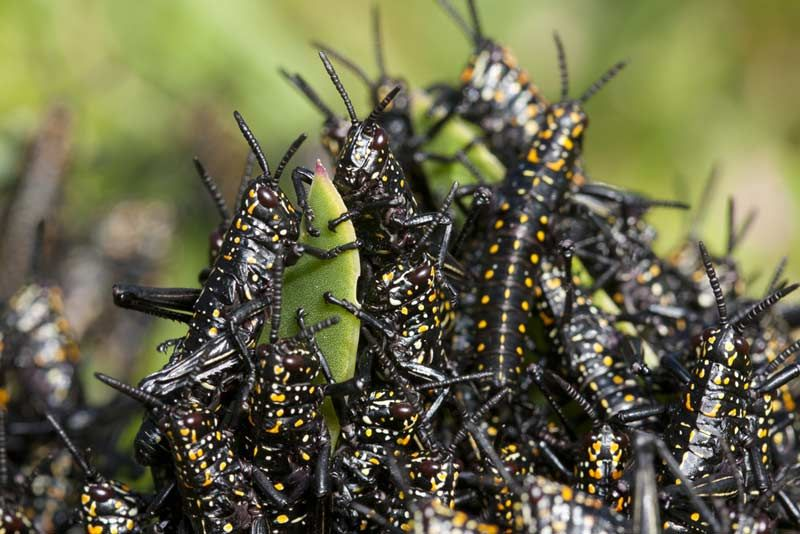Image Gallery: Striking Photos of Locust Swarms | Live Science