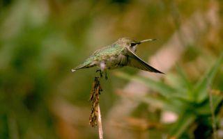 Hummingbird takes flight.