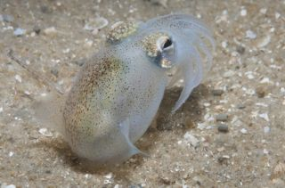 a southern bottletail squid