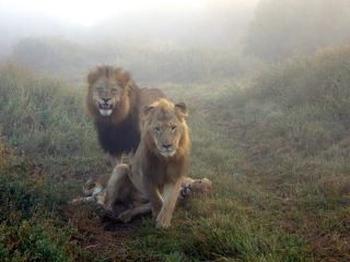 A male and female lion stand over a lion cub in Eastern Cape, South Africa. This is where a pride of lions slaughtered at least three poachers who entered the Sibuya Game Reserve to hunt rhino horns.