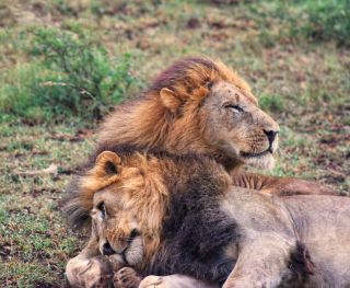 two male lion brothers snuggling