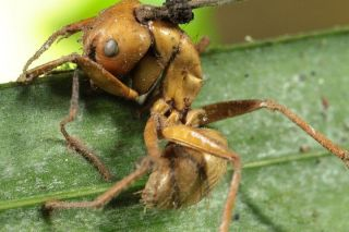 Zombie-ant infected by fungus