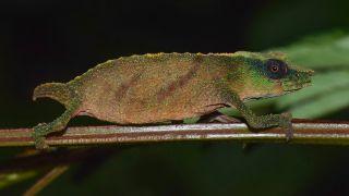 A photo of a Chapman's pygmy chameleon, one of the world's rarest chameleons.