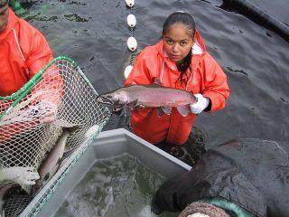 Coho salmon collection